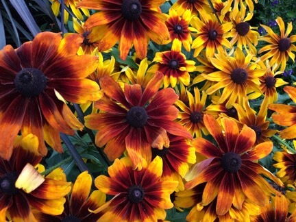 red, orange, and yellow colored flowers
