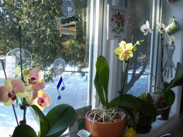orchids blooming in a kitchen window