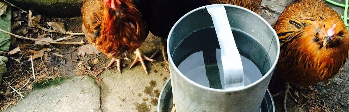 chickens drinking water