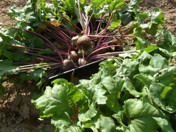 beets growing