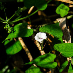 morning glory and flower