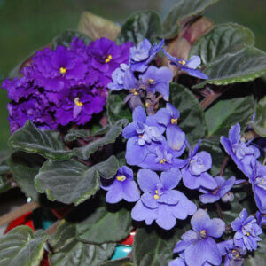 african violets in bloom