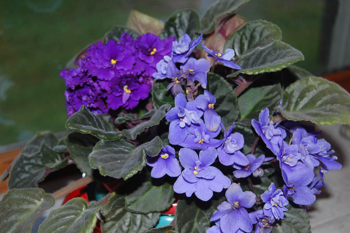 african violets in bloom