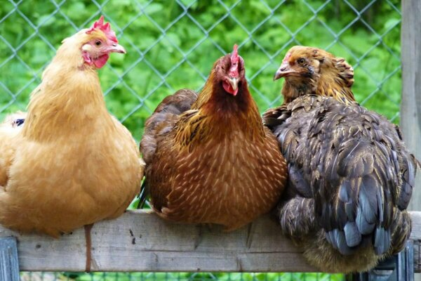 three chickens on a fence