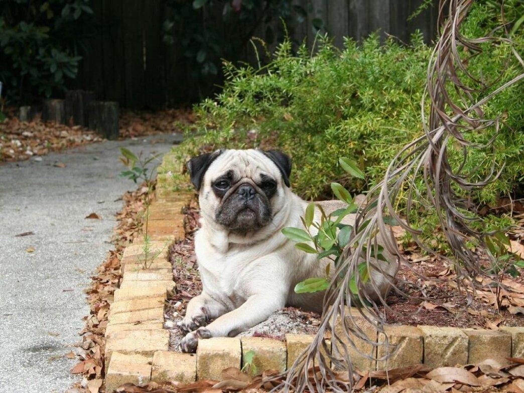 pug in garden