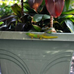 gecko on planter