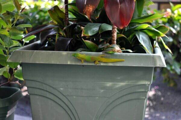 gecko on planter