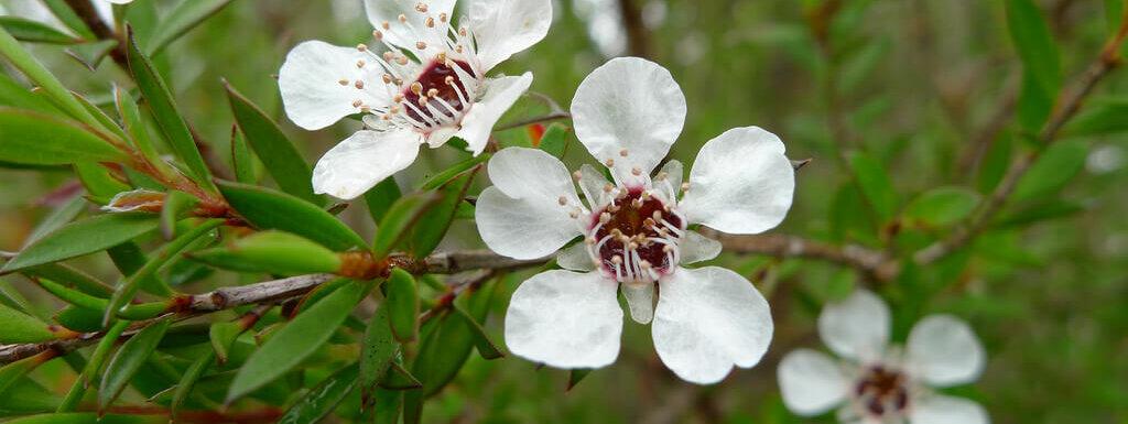 tea tree plant flower