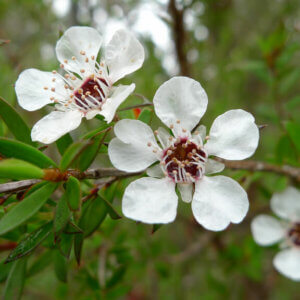 tea tree plant flower