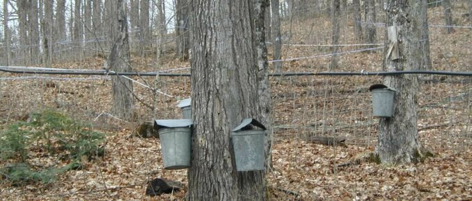 maple trees tapped for sap