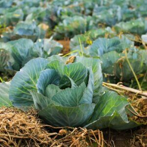 cabbage patch