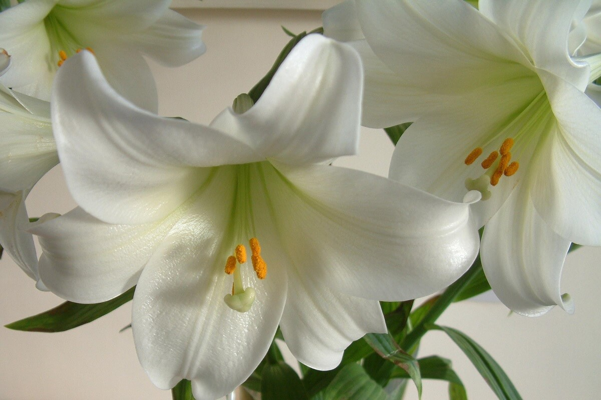 How to care for easter lilies insteading izmirmasajfo
