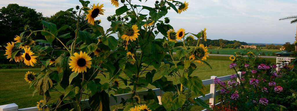 garden fence surrounded by sunflowers