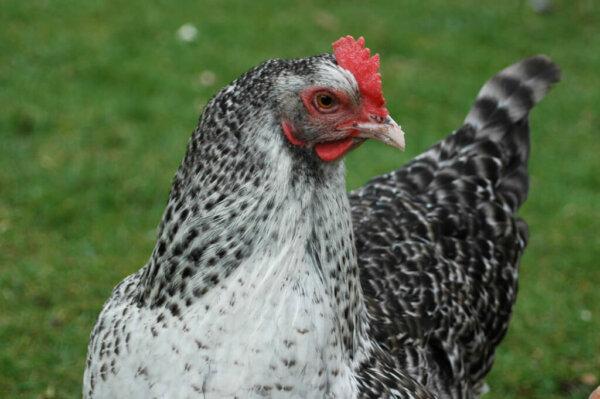 marans chicken breed