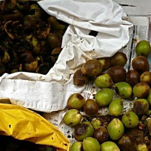 black walnuts being processed