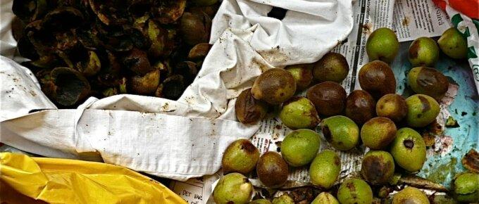 black walnuts being processed