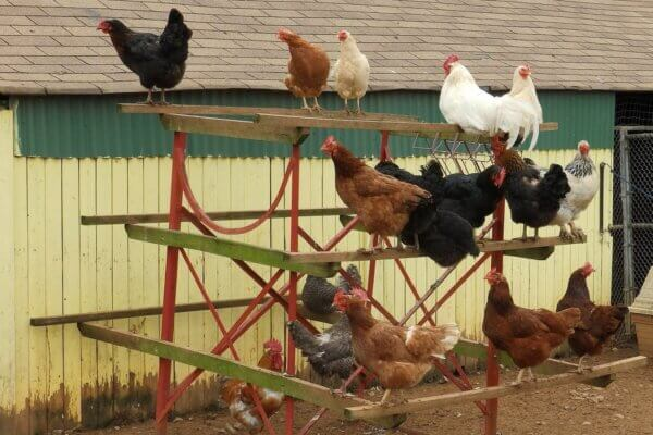 Chicken Mites • Insteading