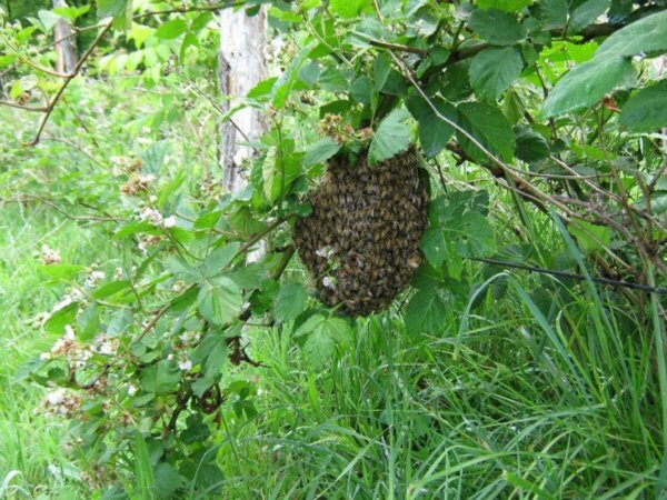 bees swarming on berry bush