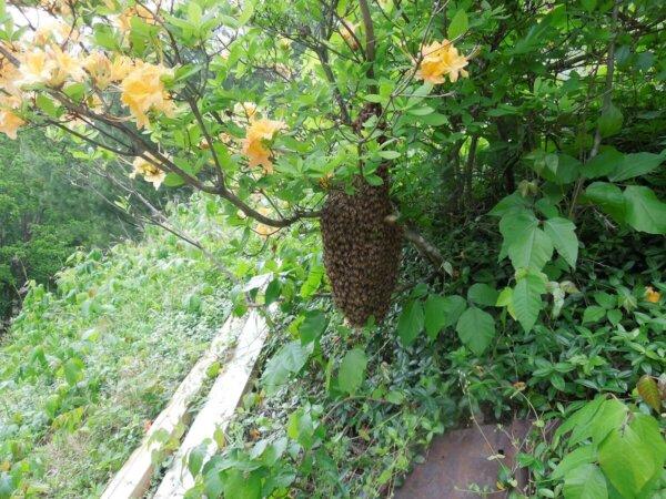 bee swarm in wild azalea bush