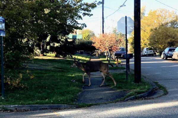 deer in neighborhood