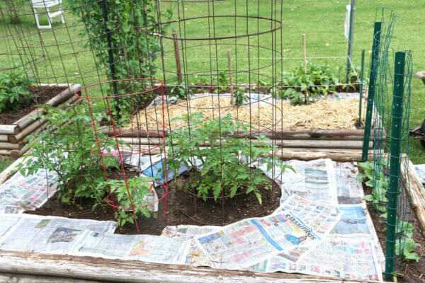 newspaper covering weeds around tomato plants
