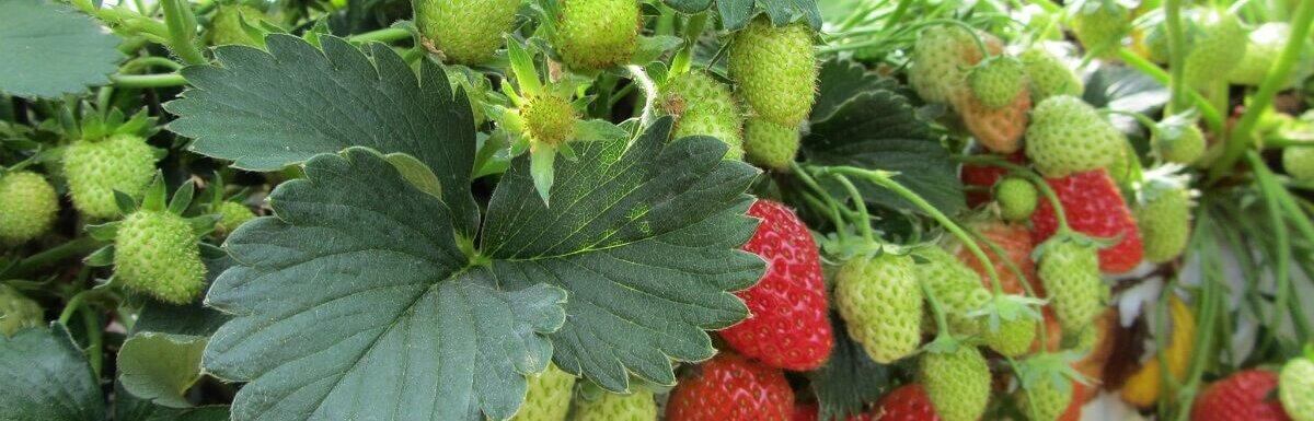 strawberries on vine