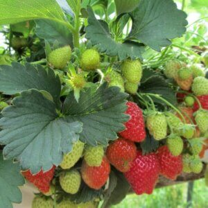 strawberries on vine