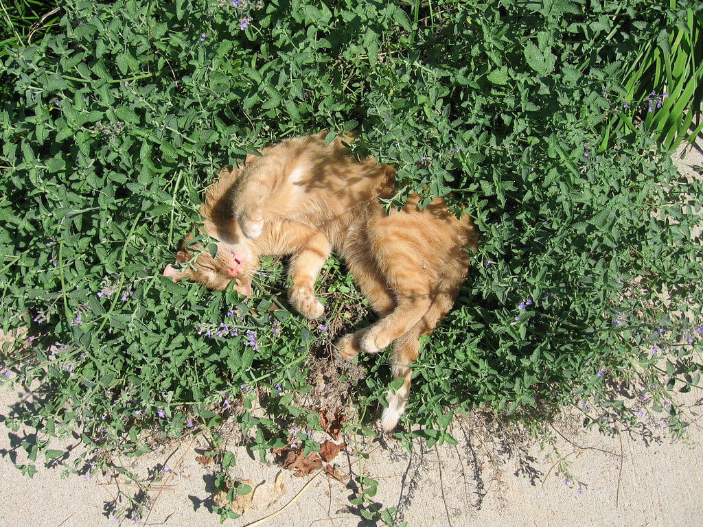 cat laying in wild mint