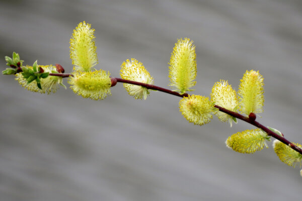 yellow pussy willows