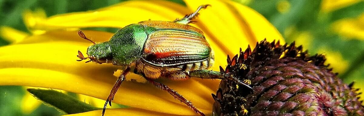 japanese beetle on sunflower