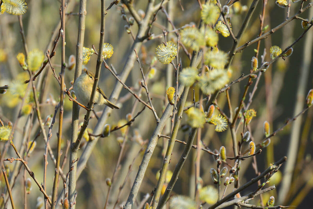 bird in pussy willow shrubs