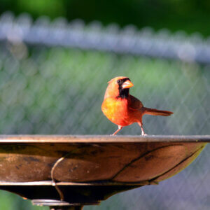 cardinal on bird bath