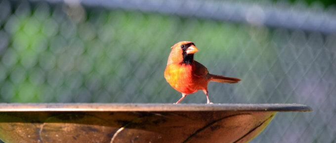 cardinal on bird bath
