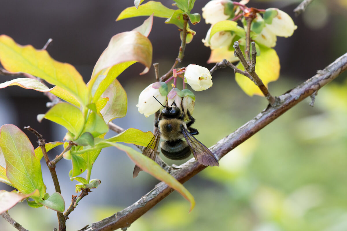 honey bee and flowering blueberry plant