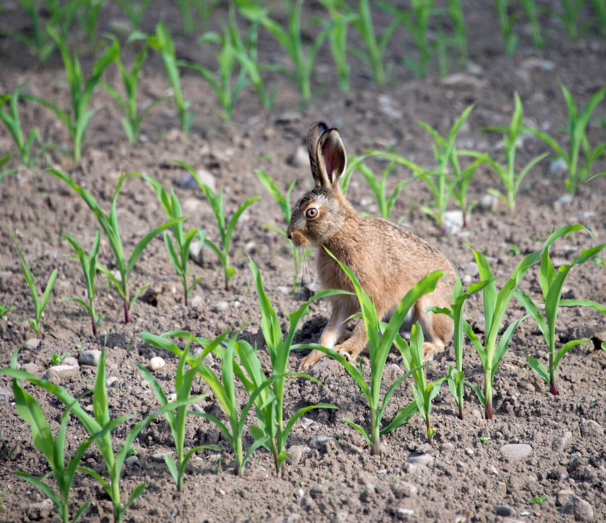 rabbit in corn field