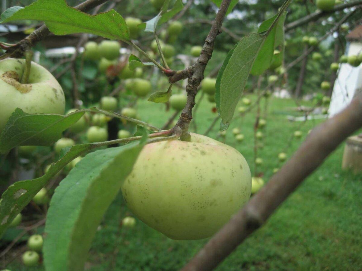 fruit on trees