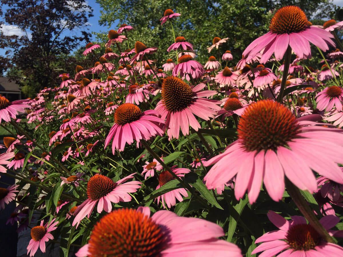 coneflower summer flower