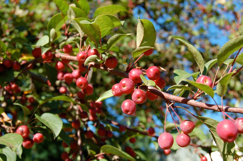 crabapples winter fruits
