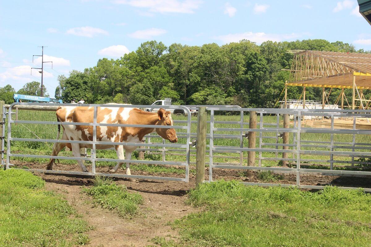 guernsey cattle