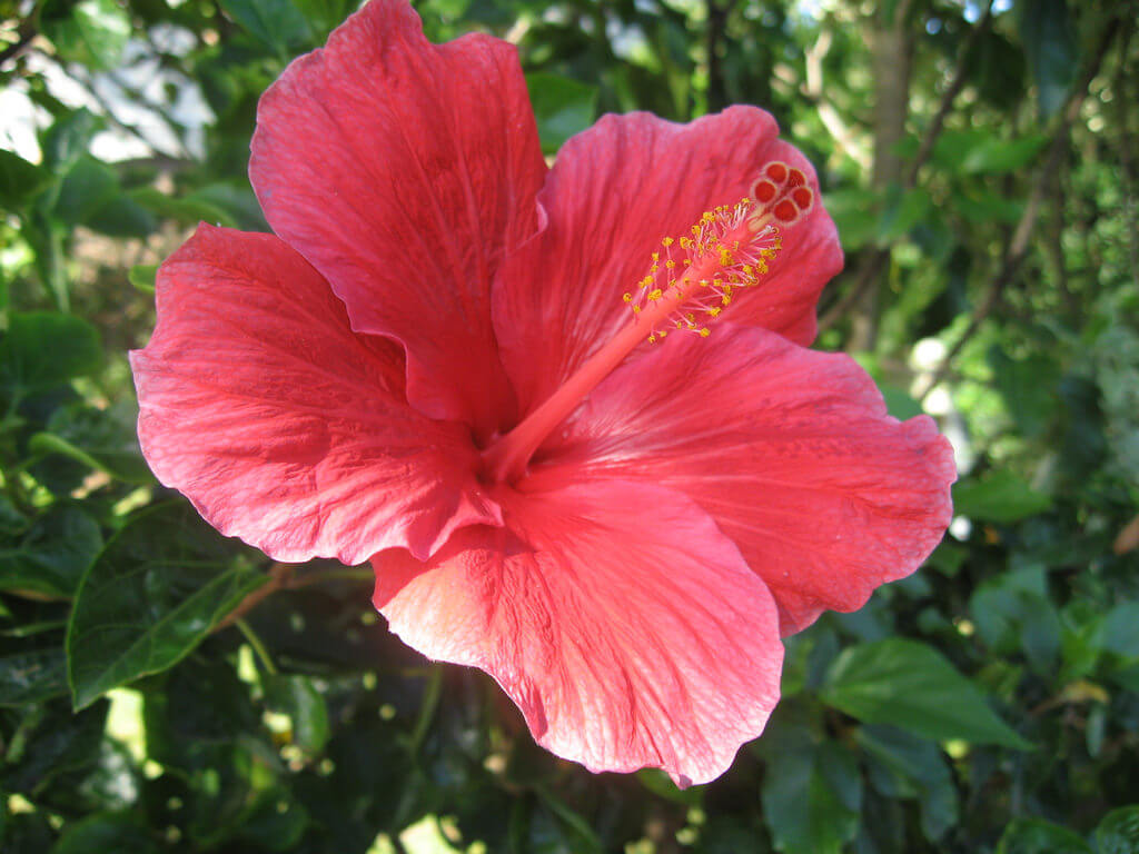 hibiscus summer flower