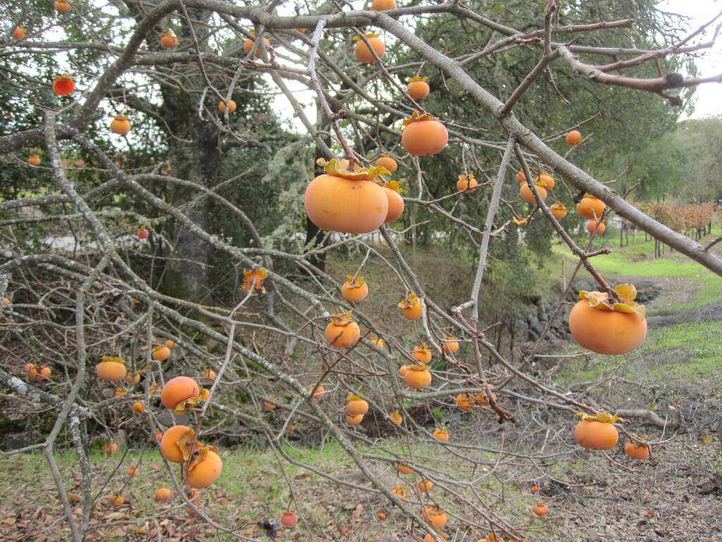 persimmon tree winter fruits