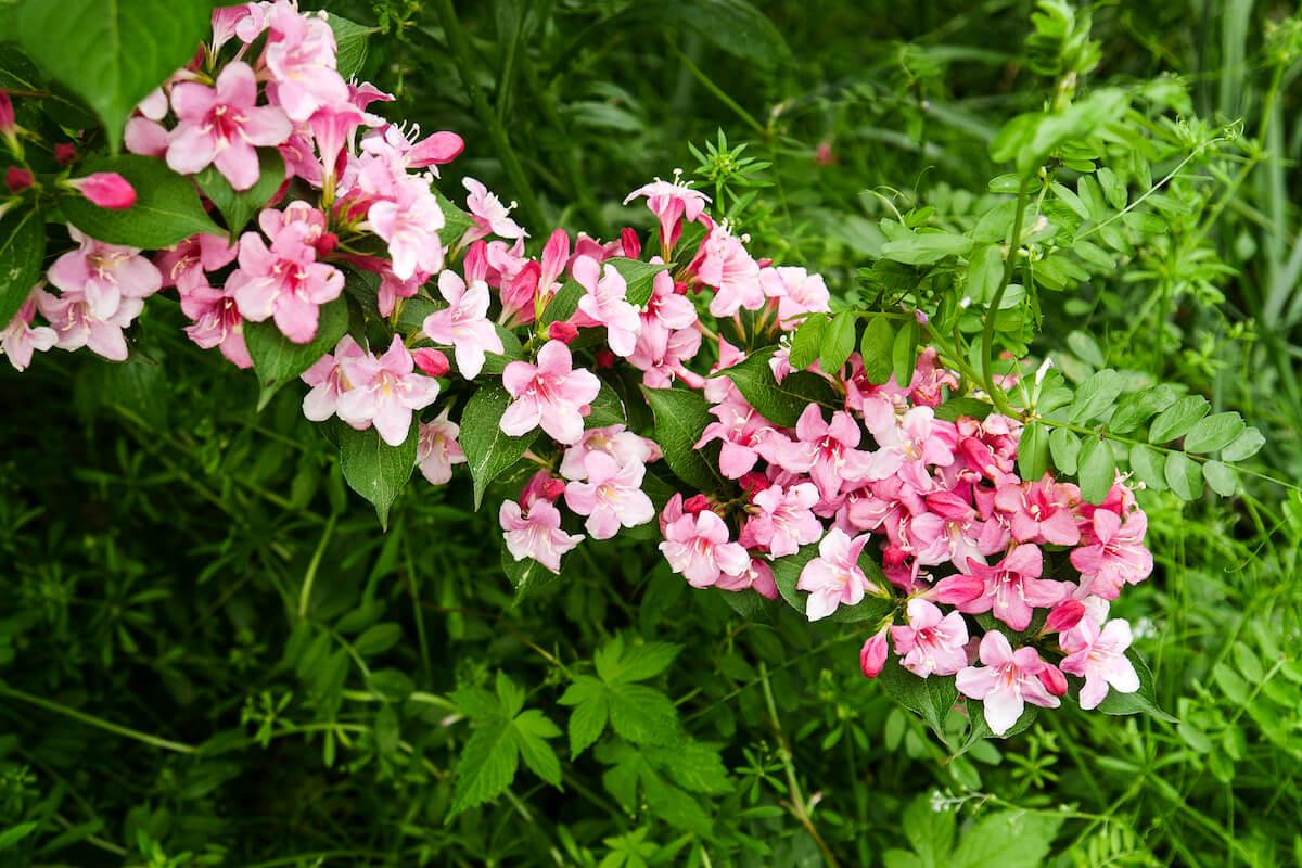 pink weigela