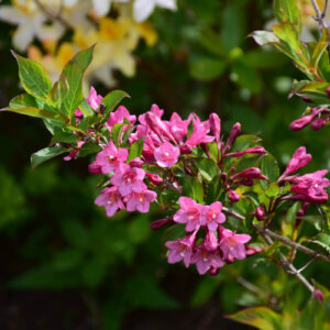weigela flowers