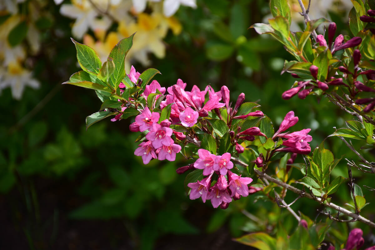 Weigela A Flowering Shrub To Rival Your Rhododendrons Insteading