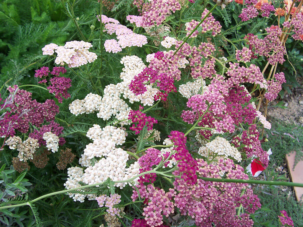yarrow summer flowers