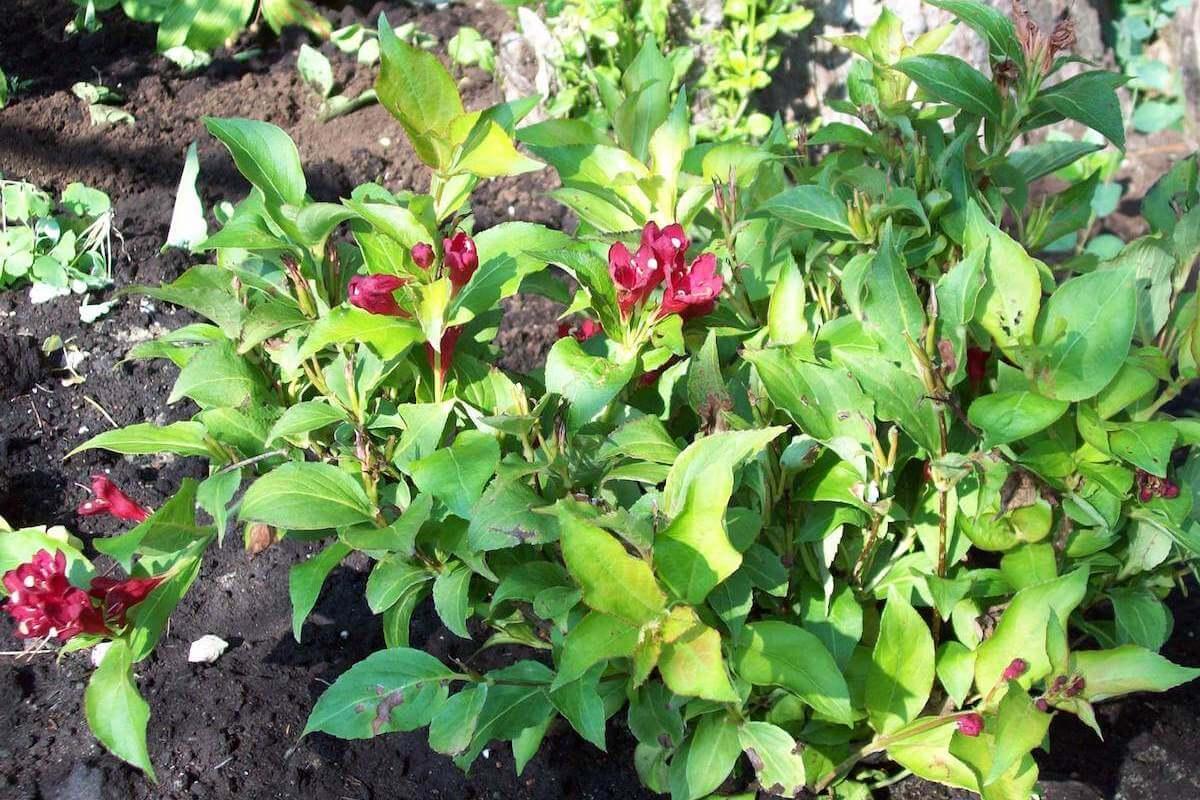 young weigela shrub