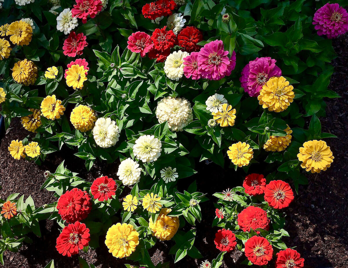 zinnia summer flowers