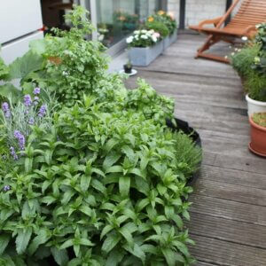 mint in container garden