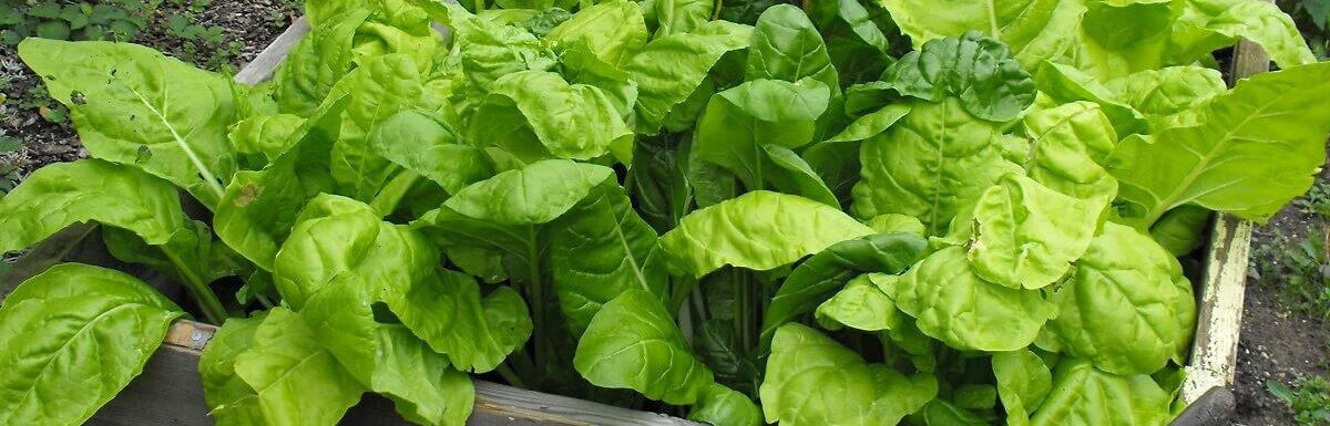 spinach raised garden bed