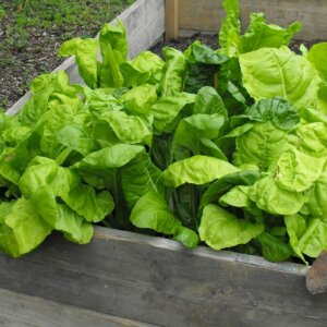 spinach raised garden bed